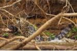 Video, ảnh: Báo đốm tung đòn chí mạng hạ cá sấu khổng lồ