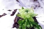Thiên sơn tuyết liên - thảo dược cực quý hiếm, nhà giàu lùng mua