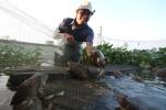 Chiêm ngưỡng đàn ếch khổng lồ ở Thái Bình, cho chủ nuôi 3 tỷ đồng mỗi năm