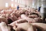 Được giải cứu, giá lợn hơi tăng 7.000 đồng/kg
