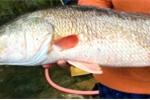 Tiểu thương mua được cá có sắc vàng óng ánh, nghi cá sủ vàng