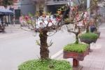 Video: Đào cổ, đào thế, bonsai Nhật Tân 'tỉ thí' tại hội thi hoa đào
