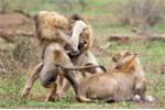 Clip: Sư tử đực đại chiến dữ dội tranh giành bạn tình