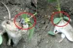 Clip: Kinh ngạc phát hiện chuột mọc cây trên lưng, quằn quại vì đau đớn
