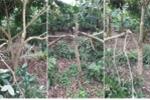 Gần trăm gốc nhãn ở Hưng Yên bị kẻ gian chặt phá tan hoang trong đêm