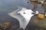 Ngư dân đảo Lý Sơn bắt được cá đuối 'khủng'