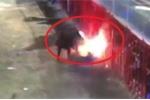 Clip: Bị đốt sừng, bò tót nổi điên húc cụ ông chết thảm