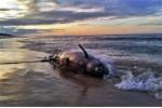 Ngư dân Huế làm lễ chôn cất xác cá heo nặng 3 tạ dạt vào bờ biển