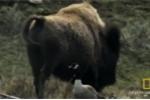 Bò rừng con dũng cảm đối đầu sói dữ