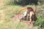 Clip: Sư tử hung hăng ngoạm lưng, kéo lê ông chủ công viên hoang dã