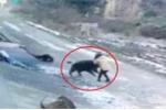 Clip: Lợn rừng xông vào làng cắn chết người ở Trung Quốc