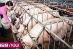 Hà Nội kêu gọi hộ chăn nuôi cho lợn ăn đồ nấu chín