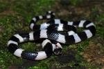 Bệnh viện ở Phú Thọ cứu nam thanh niên bị rắn cắn hôn mê suýt chết