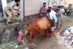 Sắp bị làm thịt, bò cái vùng lên tấn công người