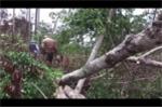 Video: Đột nhập 'đại công trường' khai thác gỗ quý của lâm tặc ở Đắk Nông