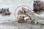 Clip: Hà mã dằn mặt cá sấu, cứu linh dương đầu bò ngoạn mục