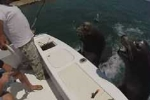 Clip: Hải cẩu nhảy lên thuyền... xin cá ăn