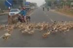 Clip: Hàng ngàn con vịt ở Tây Ninh sang đường đúng luật, dân mạng sửng sốt