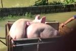 Vỡ đê ở Chương Mỹ: Nước ngập ngang người, dân hối hả vác lợn chạy lụt