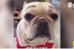 Clip: Gặm nát ghế sofa, chú chó khóc rưng rức khi bị chủ mắng