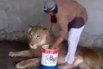 Clip: Người đàn ông kỳ cọ cho sư tử đơn giản như tắm cho mèo