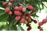 Clip: Vải rừng 30 năm mới cho trái ở vùng Thất Sơn, An Giang