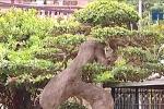 Siêu cây duối 'đẹp hàng đầu thế giới' ở Phú Thọ có gì đặc biệt?