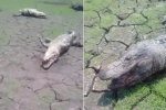 Kinh hãi cá sấu phơi xác, chết la liệt vì hạn hán