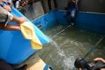 Video: Thả cá Koi xuống sông Tô Lịch đoạn lọc công nghệ Nhật Bản