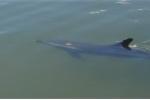 Dân Quảng Nam 'hộ tống' cá heo bị dạt vào sông ra ngoài biển