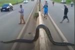 Video: Trăn khủng ngang nhiên bò qua đường khiến nhiều người hoảng sợ