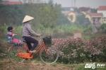 Ảnh: Ngất ngây với vẻ đẹp của cánh đồng dược liệu tại Hưng Yên
