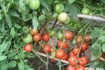 Nhà khoa học dành hơn 30 năm tâm huyết với cây cà chua Việt Nam