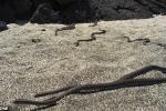 Bị hàng chục rắn 'khủng' truy sát, cự đà con tẩu thoát ngoạn mục