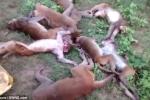 12 con khỉ đau tim, đột tử tập thể nghi do... tiếng hổ gầm