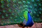 Trở thành tỷ phú nhờ nuôi chim Khổng tước