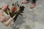 Clip: Gà trụi lông chiến đấu ác liệt với đối thủ đẹp mã