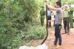 Một phạm nhân bị rắn hổ mang chúa dài 3 mét cắn chết