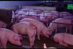 Nắng nóng tra tấn, nông dân chi gần nửa tỷ đồng chống nóng cho lợn