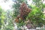 'Sai khiến' nhãn ra quả trái vụ, nông dân Hưng Yên thu lời trăm triệu đồng giữa mùa đông