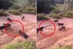 Clip: Đàn chó nhà bao vây, xâu xé rắn hổ mang chúa khổng lồ