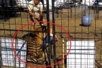Bị đánh bằng gậy, hổ nổi khùng cắn rách chân người huấn luyện