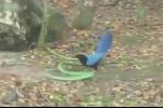 Clip: Rắn lục, chim xanh huyết chiến và cái kết bất ngờ