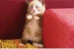 Ngộ nghĩnh clip mèo sợ máy hút bụi