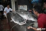 Video: Cặp cá lăng cực hiếm 100 kg 'cưỡi' máy bay từ Campuchia về Hà Nội