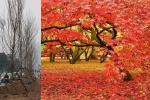 Ảnh: Ngắm hàng phong lá đỏ đậm chất châu Âu lần đầu được trồng trên phố Hà Nội