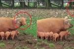 Phì cười clip lợn mẹ nổi đóa hất lợn con bay lên trời