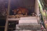 Lạ lùng quê nghèo xây 'nhà lầu' cho gia súc ở