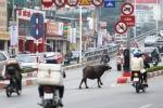 Clip: Trâu điên húc người náo loạn trên phố Hà Nội