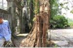 Cây sưa đỏ 130 năm tuổi ở Hà Nội mất giá một nửa, chỉ còn 50 tỷ đồng?